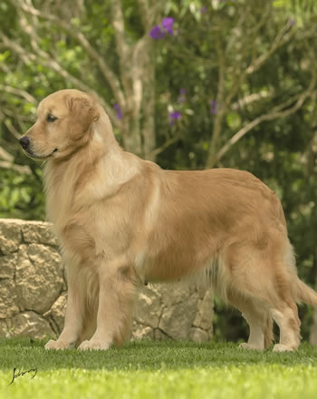 Golden Retriever Andy