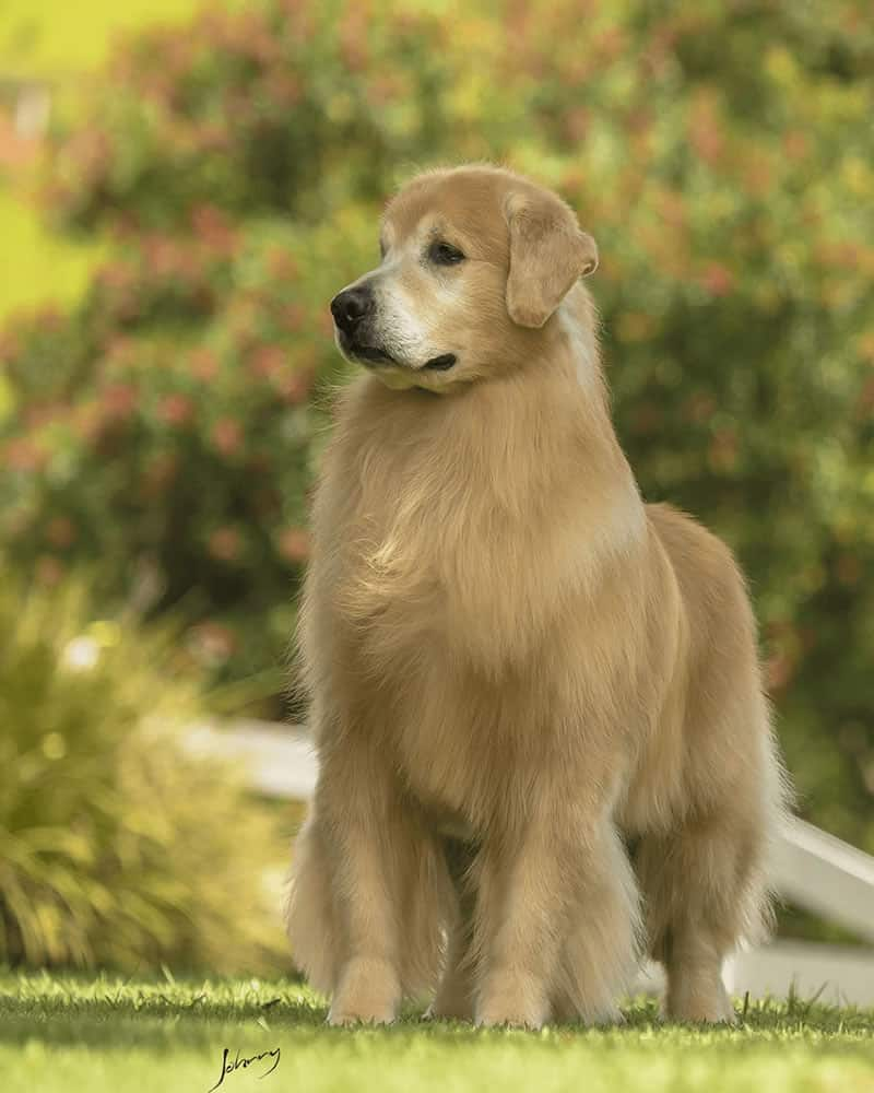 Golden Retriever - Jabulani