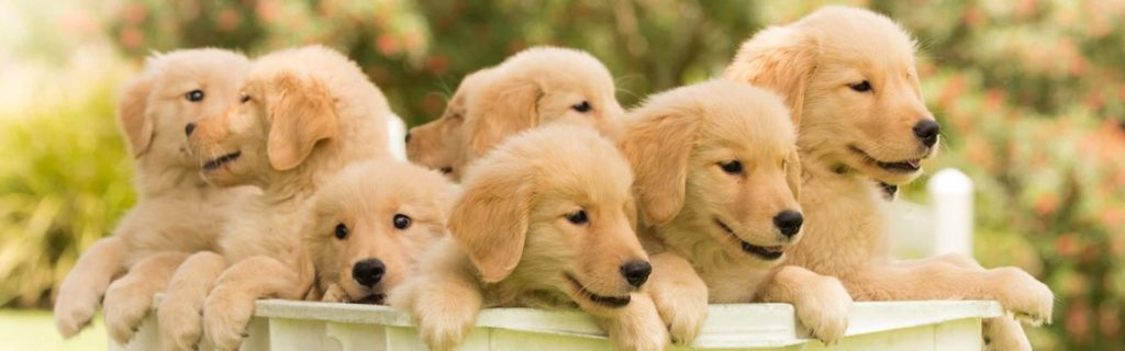Doenças do Golden Retriever