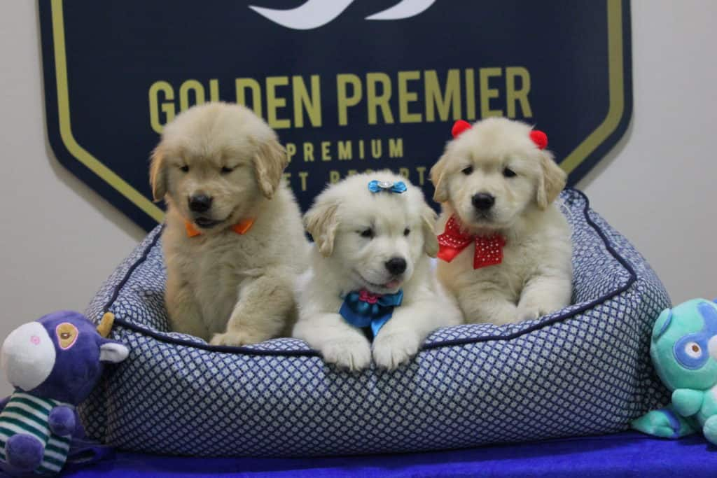 Videos de Filhotes de Golden Retriever