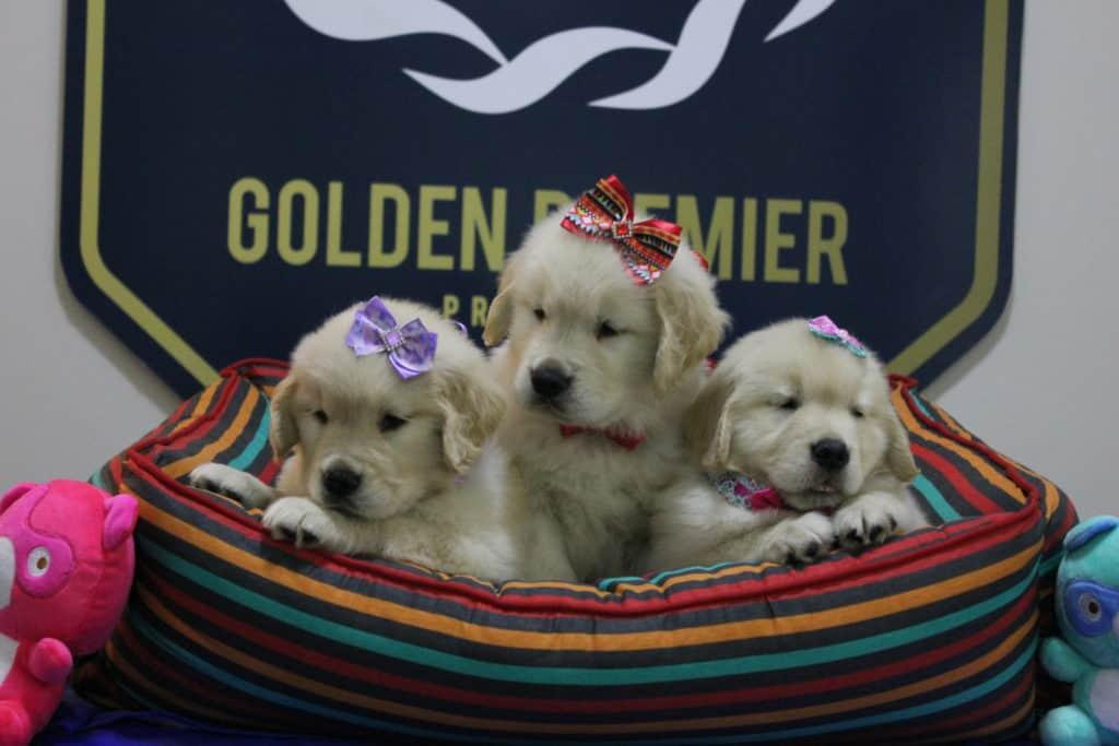 Golden Retriever - Convivência com crianças